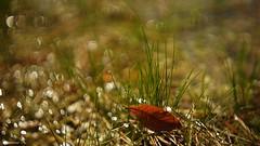 Autumn (YᗩSᗰIᘉᗴ HᗴᘉS +8 000 000 thx❀) Tags: leave autumn bokeh nature hensyasmine