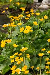 High Tatra Flora (Unid sp.) (The LakeSide) Tags: macro slovakia vysoke tatry tatra high nikon r1c1 d7100 flower flora