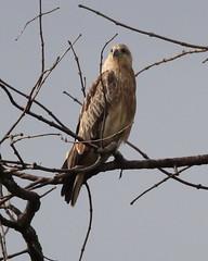 Juvenile Brahminy Kite