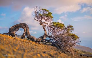 Lonesome tree enjoys the sunrise on El Hierro