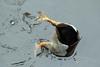 Dabbling (iansand) Tags: warriewood bird dabbling duck