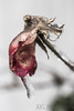 Glimmer of life in this rose. (kylewhite6) Tags: rose red flower wimter winter ice storm desaturate d3300 nikon