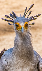 Secretarybird (FotoGrazio) Tags: sagittariusserpentarius sandiegozoosafaripark secretarybird waynegrazio waynesgrazio animal bird birdofprey crown feathers fotograzio hunter largebird mask nature portrait portraiture predator snakekiller stomper subsaharan wildlife