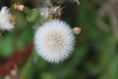 Clock (daveandlyn1) Tags: dandelion clock flower bud depthoffield iii f3556 efs1855mm 1200d canoneos anglesey penmon