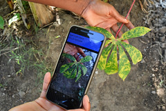 New mobile app diagnoses crop disease in the field. Photo: IITA