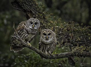 Watchful Eyes- Barred Owl Pair