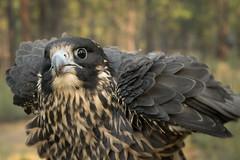 Immature Peregrine Falcon (Jon David Nelson) Tags: peregrine peregrinefalcon falcoperegrinus birdsofprey raptors wildlife highdesert oregon centraloregon education conservation