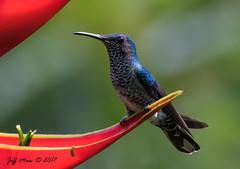 White-necked Jacobin  (Female) (Jmawnster) Tags: florisugamellivora whiteneckedjacobin jacobin hummingbird