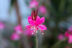 Gaura pink (Alan Pamler) Tags: pentaxk3ii smcpentaxm50mmf17 vintagelens manual prime rawtherapee50 gaura pink flower star bokeh