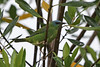 Blue Dacnis (Alan Gutsell) Tags: birds brazil alan nature wildlife intervales statepark birding blue dacnis bluedacnis