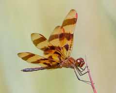 Halloween Pennant Dragonfly (tresed47) Tags: august canon7d chestercounty content dragonflies halloweenpennant insects macro marshcreek pennsylvania peterscamera petersphotos places season summer takenby technical us
