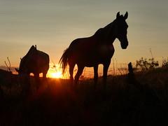 ATARDECER Y CABALLOS I (Lila_MJosé) Tags: extremadura valverdedeburguillos atardecer caballos pueblo color españa