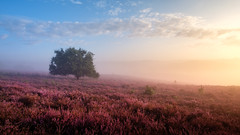 Misty Posbank (Mario Visser) Tags: posbank veluwe morning sunrise netherlands dutch heide heather purple sun landscape pink beautiful blooming summer flowers beauty color foggy background hills colorful flower plant outdoor field europe blossom scenic