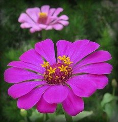 A wonderful weekend to you :-) (langkawi) Tags: zinnia pink