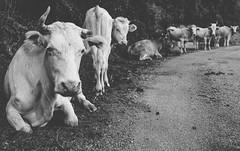 Friends (mripp) Tags: art kunst vintage old retro cows cow kühe kugel animal animals black white mono monochromatic schwarzweiss schwarz weiss vegan vegetarisch sony rx1rii rx1rmk2