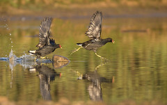 Territorial Dispute! (michael.smith86) Tags: canon7dmk11 sigma150600c contemporary flamborough eastyorkshire chase fight flight fear splash aggression underwing rock reflection moorhen gallinulachloropus ngc