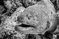 (saavedl) Tags: underwater lx5 bw bn blackandwhite monochrome redsea