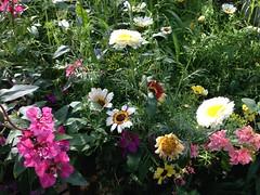 Puutarhan kesäseuranta 15.8.2017 (Mtj-Art - Thanks for over 2 million views :)) Tags: blossom flower flowers petal terälehti kukka kukat kukkii kukkaloisto kukkaloistoa pretty beautiful kaunis upea kauniita kauniit hieno hienoja plants kesä summer iphone puutarhaseuranta puutarha garden vacation plant kasveja kasvit nurmikko nurmi markuskauppinen iphone5c wwwvalonkuvaajacom sprout verso versoo itää kesäkuu amppeli