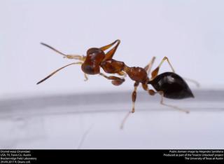 Dryinid wasp (Dryinidae)