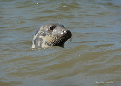 Hilbre Island 5 207 (Brian Gort Wildlife Photography) Tags: red grey seal sea wildlife wild water white animal black brown brian briangort cheshire catchlight colour cream west kirby wirral