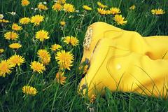 FDT 170919 (Chantal van der Ende-Appel) Tags: fdt facedowntuesday dandelions thesebootsweremadeforwalkingandthatsjustwhattheywont crocs yellow