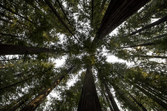 The Giants (aerojad) Tags: eos canon 80d dslr 2017 summer outdoors california roadtrip vacation travel wanderlust forest redwoods redwoodforest avenueofthegiants hwy101 highway101 101 lookup negativespace rainforest temperaterainforest landscape nature