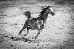 The Trot (blackhawk32) Tags: horse arabianhorse yearling scottsdalearabianhorseshow trot