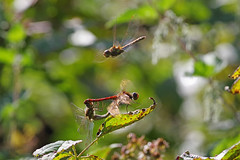 Three's A Crowd! (Hugobian) Tags: odonata dragonfly dragonflies insect nature animal wildlife fauna paxton pits reserve pentax j1 common darter
