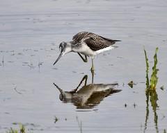 Greenshank  RSPB Marshside D210bob DSC_5748 (D210bob) Tags: greenshank rspb marshside d210bob dsc5748 nikond7200wildlifephotography birdphotographynikonnikon200500f56 lancashire nikon200500f56 nikond7200 wildlifephotography birdphotography nikon