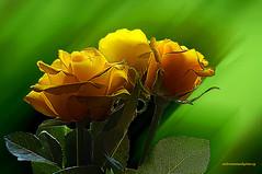 SEPTEMBER ROSES. (Viktor Manuel 990.) Tags: macro roses rosas yellows amarillos greens verdes digitalart artedigital querétaro méxico victormanuelgómezg