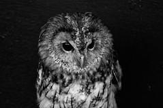 Evil Owl (Neil B's) Tags: evil owl bird bw monochrome
