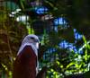 20170820-0I7A0475-Brahminy Kite (siddharthx) Tags: singapore sg brahminykite birdsofprey canon7dmkii nature ef100400mmf4556lisiiusm jurongbirdpark aviary bigbirds largebirds