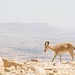 Small Ibex in Israel - Negev Desert