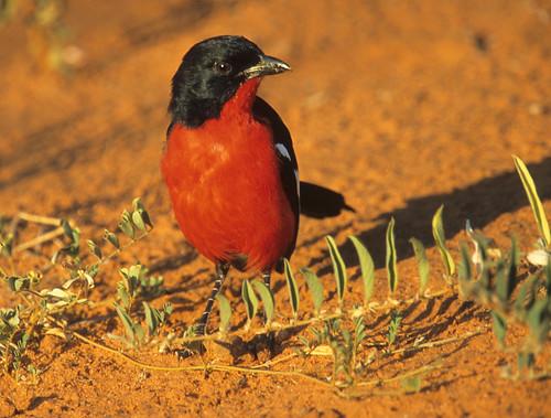 Crimson- Breasted Shrike 2952