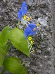 ツユクサ (nofrills) Tags: ツユクサ blue blueflower blueflowers flora flower yellow green weed weeds roadside commelinacommunis asiaticdayflower concrete