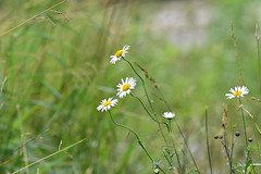Daisies at the River (thatSandygirl) Tags: flower white yellow daisy oxeye floral petals serene soft bokeh riverbank park memorialpark mountvernon ohio kokosingriver green plant foliage flora blossom bloom