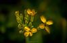 Douce Éclosion (Frédéric Fossard) Tags: flou profondeurdechamp flore floral flower fleurjaune botanique texture painting nature fleursauvage fleursdemontagne florealpine oisans hautesalpes massifdesécrins luminance éclosion floraison pistil jaune vert yellowflower art abstrait surréaliste