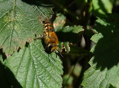 Colletes hederae (rockwolf) Tags: colleteshederae ivybee hymenoptera abeille bee insect ivy frogham kent 2017 rockwolf