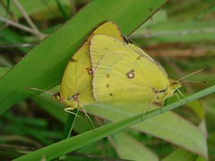 Two Sulphurs (mcnod) Tags: mcnod sulphur butterfly troyhill elkridge september 2017