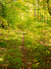 Greening into gold (Wicked Dark Photography) Tags: landscape wisconsin autumn fall forest hiking nature path trail woods