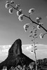 Superstition Mountains: Century Plants (jswensen2012) Tags: arizona agave centuryplant superstitionmountains peraltacanyon peraltatrail weaversneedle desert centuryplantstalk