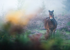 Knettishall Heath 17 Sept 2017 (Matthew Dartford) Tags: eastanglia matthewdartford animals bokeh bokehlicious depth england focus fog foggy horse knettishall landscape leaf leaves mist misty norfolk pony
