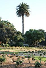 2017 Sydney: A Very Windy Spring Afternoon in Centennial Park #50 (dominotic) Tags: sydney nsw australia newsouthwales 2017 centennialpark publicpark tree green bluesky rosebeds palmtree shadow nature springsunset