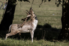 3H8A5512 (shay connolly) Tags: stag scent marking