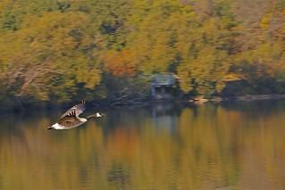 Canada Goose Flight _5954