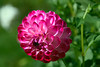 Slightly Pink (Chancy Rendezvous) Tags: pink red flower blossom petals dof depthoffield d500 nikkor dahlia chancyrendezvous
