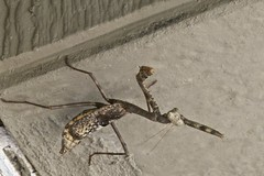 Praying Mantis - Hanging Around (Ken'sKam) Tags: prayingmantis insect nature