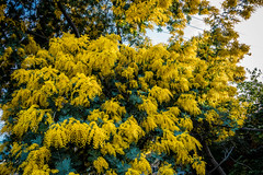 Golden Mimosa Tree (randyherring) Tags: ca spring natural color blossom sanjose beauty california plant scented tree golden sky pollen yellow landscape closeup flower nature scenic floral mimosa vegetation garden outdoors blue colorful flora beautiful bright goldenmimosatree blossoming blooming acaciabaileyana green bloom fluffy fresh branch