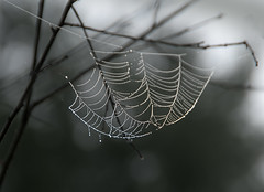Hang in there... (DaveLawler) Tags: hang hanging web spider branches tree bokeh blur dof dew drops d500
