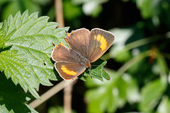 Brown hairstreak (Netherclay) (Steve Balcombe) Tags: insect butterfly brown hairstreak lepidoptera lycaenidae thecla betulae female netherclay taunton somerset uk